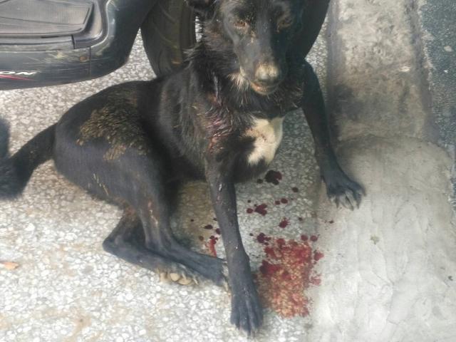 2017年8月17日  遭7隻狗圍毆差點致死的小黑