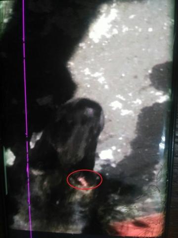 2017年11月16號台北吳興街眼睛受傷的虎斑狗