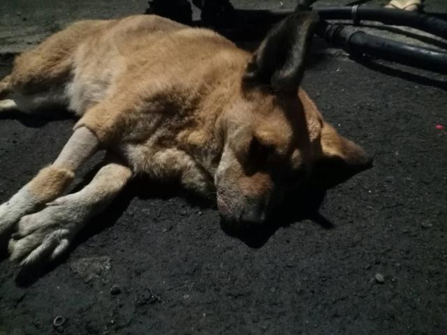 106.02.07.被車撞傷的小黃狗