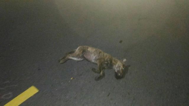 106年5月2日凌晨2點,彰化市永安路深夜被車撞擊的虎斑母浪