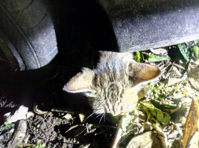 2019年10月17號 浪貓遭撞傷躲在車底下