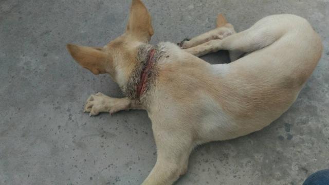 106年9月29,小米黃的脖子潰爛成環狀傷口
