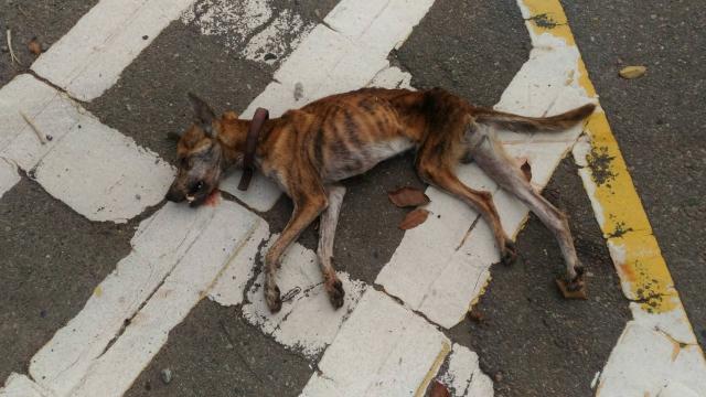 106年11月3日,暴瘦虎斑公泿,過馬路被車撞擊