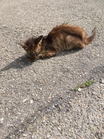 106年11月5日,不吃、不喝、不動,骨瘦如柴,眼睛睜不開,佈滿目屎膏的灰虎斑病貓