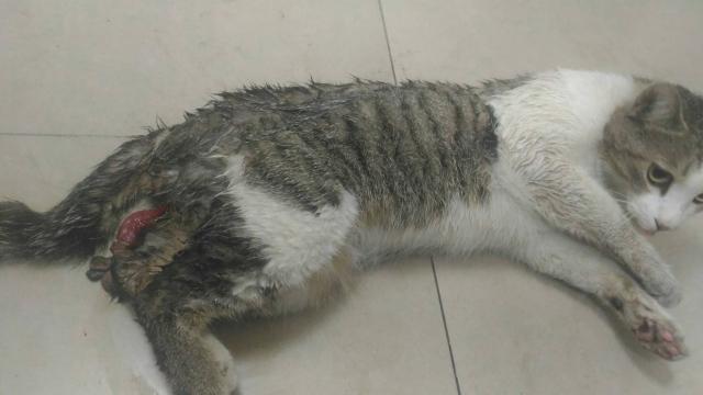 106年2月24日,南投國姓鄉被咬成重傷的灰白虎斑貓