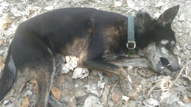 106年2月13日,受困山上大排水溝的棄養浪犬