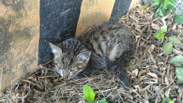 106年3月17日,彰化縣福興工業區奄奄一息的灰虎斑幼貓