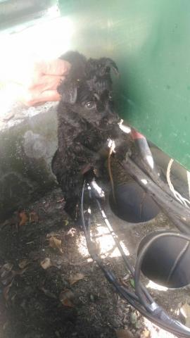 106年3月1日,小幼黑狗誤入變電箱管線內受困