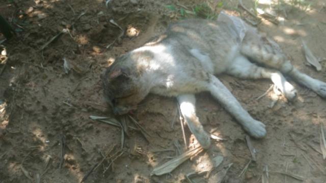 106年6月29日,台中市沙鹿區六路五街疑似被塑膠袋纏繞成傷的灰虎斑花貓