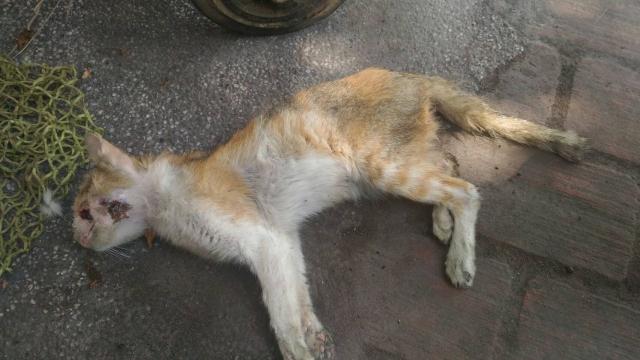 106年4月10日,南投市疑似高處墜落骨折的浪貓